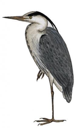 Цапля серая — Wikihunt
